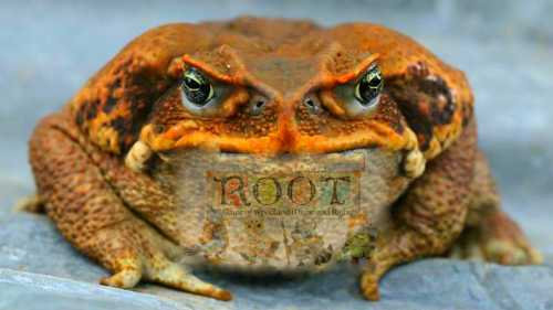 cane-toad.jpg