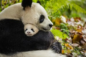 Disneynature Born in China - Barney's Incorrect Five Second Reviews